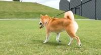 OPPO Reno2遛狗防抖拍摄